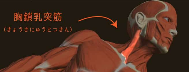 胸鎖乳突筋の箇所