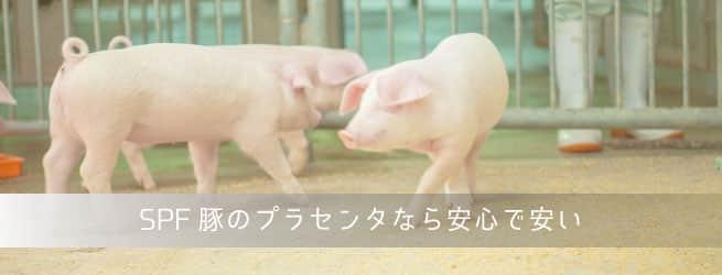 SPF豚のプラセンタ