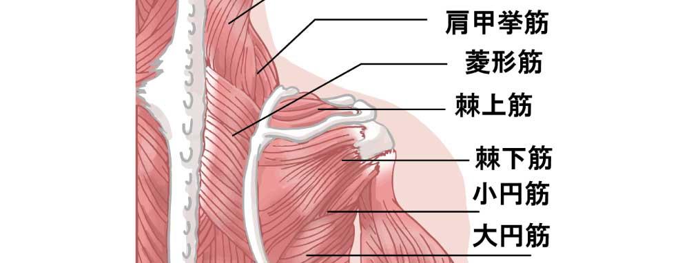 肩甲骨筋肉